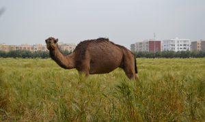 Camel at Charibi farm -- Trek Sefrou -- Fes